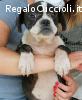 Amy 8 mesi mix bulldog francese