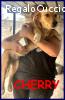 CHERRY cucciolotta simil golden retriver 6 mesi abbandonata