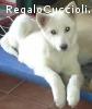 Husky incrocio cucciola