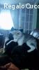 Husky Lula, dolcissimo coccolone 4 mesi cerca casa