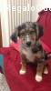 In adozione cuccioli meticci 7 mesi