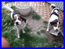 LAMPO E FULMINE fratellini mix jack beagle dolcissimi