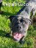 Quadrotto mix boxer cane corso cerca casa