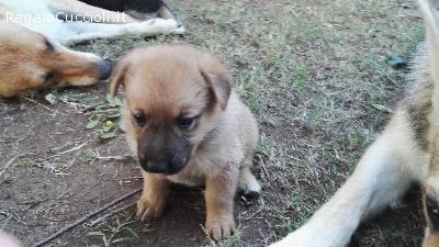 Regalo Cucciolo Lupo Cecoslovacco.Ads Cani In Piemonte Regalo Cuccioli Incrocio Lupo