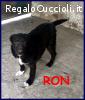 RON cucciolott simil labrador 6 mesi ha urgente bisogno di u