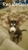 Siberian husky Lailu, dolcissimo cagnolina di circa 3-4 mesi