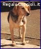 TAMARA simil beagle bellissima 5 anni aspetta ancora una fam