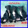 TAMBURELLO CICALINO MOBY cuccioli 4 mesi abbandonati in camp