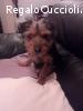 Toffi è un Yorkshire mini cuccioli in cerca di casa