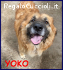 YOKO tenerissima orsacchiotta simil bovara 3 anni carattere